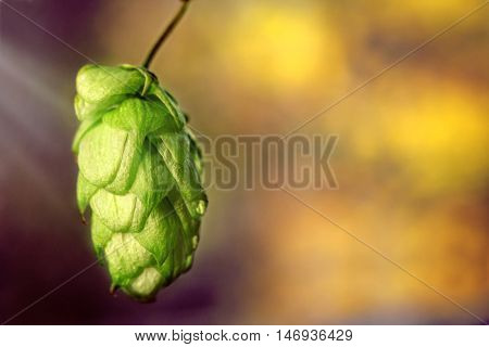 Hop cone closeup on dark blurred background