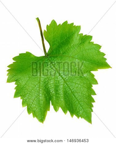 Two grape leaves isolated on white background