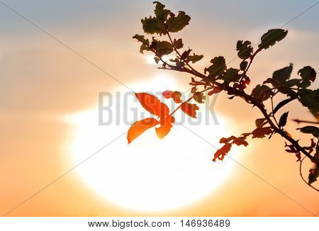 Silhouette of a bush on a background of a bright setting sun