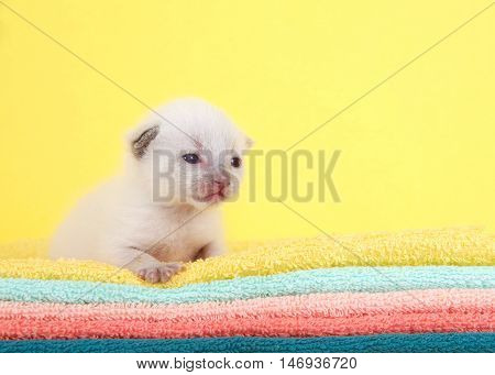Newborn ten day old white kitten eyes open laying on yellow aqua peach orange and green towels with vibrant yellow background.