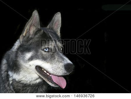 Siberian Husky domestic dog with blue eyes mouth open teeth and tongue showing. isolated on black background