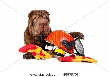 Sharpei dog with hard hat and gloves on white background