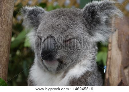 Sleepy Koala (Phascolarctos cinereus) napping in the trees in Australia, they sleep between 18-20 hours per day. poster
