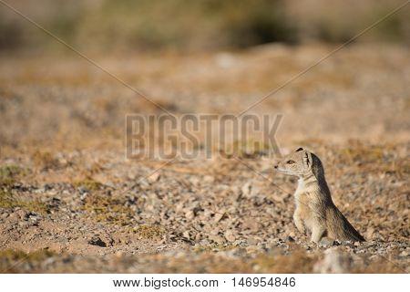 Yellow Mongoose At Burrow