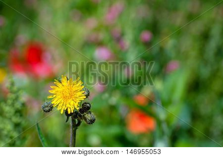 Closeup of the buds and the yellow flower head of a field sowthistle or Sonchus arvensis plant between other colorful flowering wild plants in a field edge in summertime