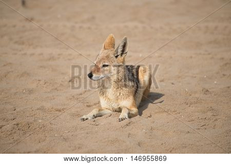 Jackal At Pelican Point
