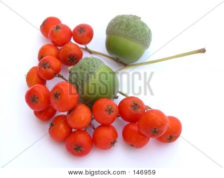 Ashberry And Acorns