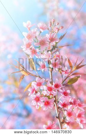 Blurred of Sakura flowers blooming. Beautiful pink cherry blossom in the pastel color style for background.