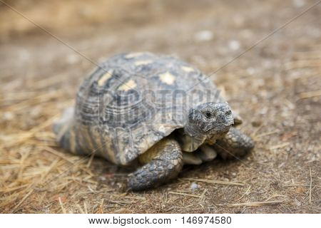 Spur - thighed Tortoise On It's Natural Habitat poster