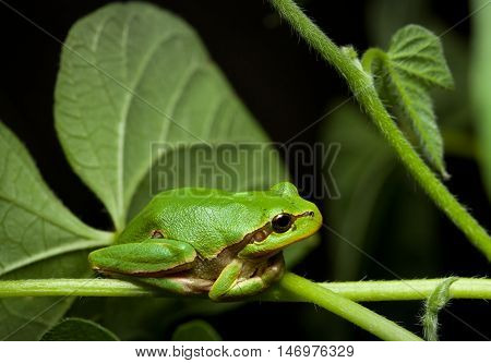 Macro of European tree frog (Hyla arborea) at night in natural environment