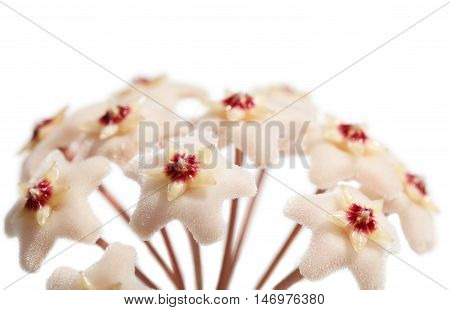 Macro of Blooming Hoya Carnosa (Asclepiadaceae) isolated on white