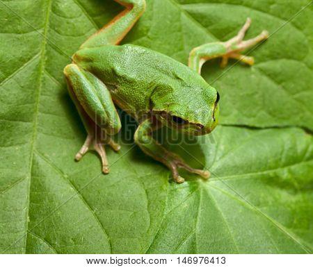 Macro of European tree frog (Hyla arborea) sitting on leaf