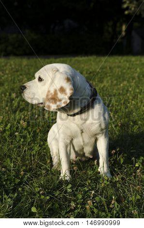 Beagle in a city park in Sofia