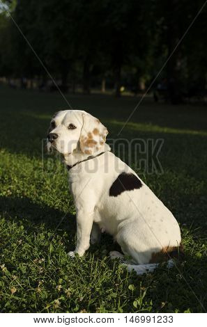 Female beagle waiting for her owner in a city park