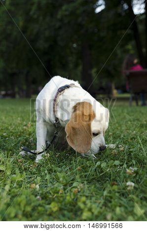 Sniffing female beagle in a city park