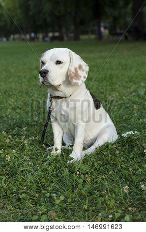 Sad female beagle waiting in a park