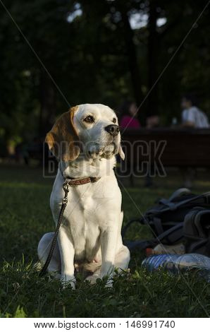 Female beagle sitting next to backpack of her owner in the park