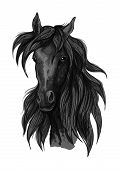 Arabian horse head sketch of black purebred racehorse mare. Use for horse racing badge, equestrian sport symbol or t-shirt print design poster