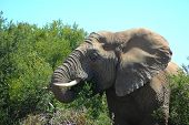 A beautiful African elephant head portrait feeding from the bushes in a game reserve in South Africa poster