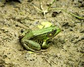 Green Toad in a dry pond looks for food poster