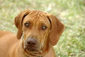 A beautiful cute face with sad expression of a liver nosed Rhodesian Ridgeback hound dog head portrait - national dog of South Africa - watching other dogs poster