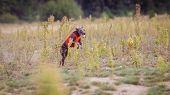 Training Coursing. Italian greyhound dog pursues a bait box. Summer sunny morning poster