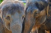 Closeup of two elephant friends touching trunks poster
