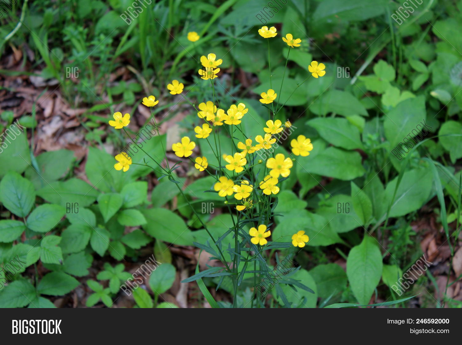 Common Buttercup Image Photo Free Trial Bigstock