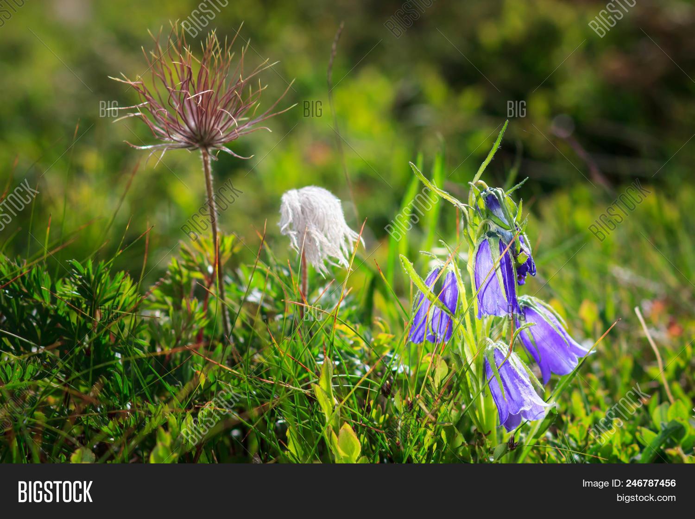 Beautiful scenery blue image photo free trial bigstock beautiful scenery with blue bell flowers in summer mountains campanula alpina izmirmasajfo