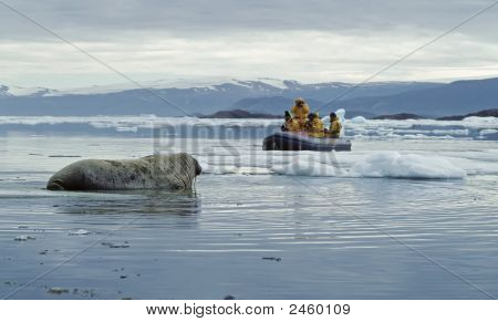 Ecotourism in extreme conditions. Walrus and photographers in the waters off Ellesmere Island in the Canadian High Arctic. poster