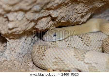 A Blond Phase Trans Pecos Rat Snake From Extreme Southwestern Texas