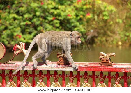 Long-tailed Macaque or crab-eating monkey in tropical rain forest is walking on over metal fence poster