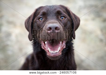 Portrait Of Beautiful Young Cute Labrador Retriever Dog Puppy With Brown Big Eyes With Copy Space