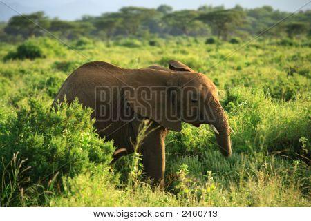 Baby elephant in Samburu National Park Kenya Africa poster