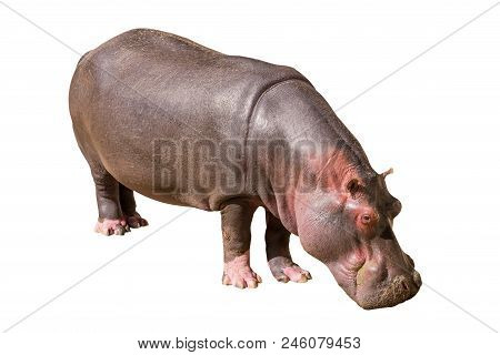 View On A Common Hippopotamus Isolated On White Background, Seen In South Africa, Africa. Hippos Are