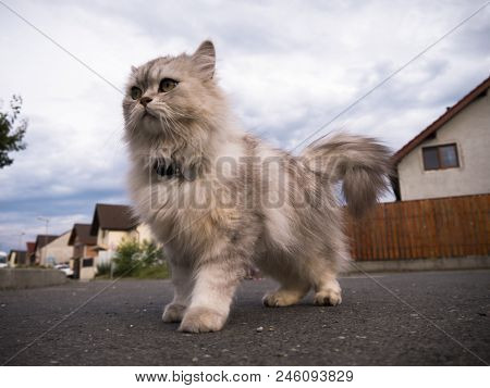 Gorgeous Persian Cat In The Foreground Ready To Sprint Persian Cat Staying In A Gorgeous Position Re