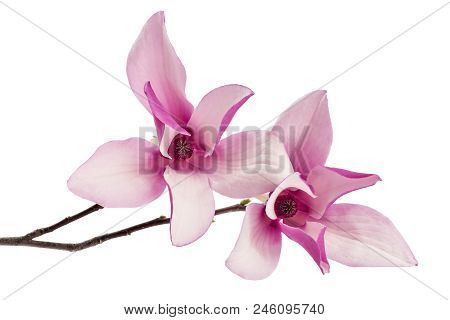 Two Beautiful Pink Spring Magnolia Flowers, Magnolia Liliiflora, On A Tree Branch Isolated On White
