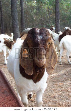 Goatfarm 022