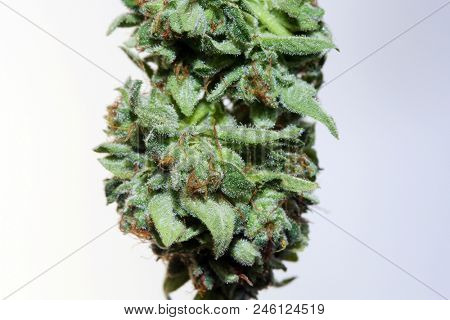 Marijuana. Macro view of marijuana flower drying. Extreme close up of a cannabis plant being processed for smoking or consumption. Relational and Medical Marijuana plant extreme close up view.