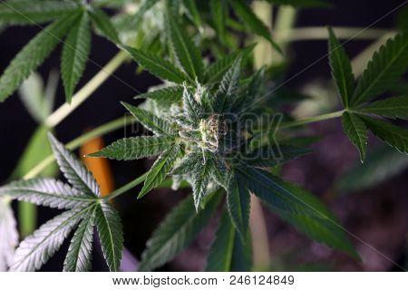 female marijuana flower extreme close up. Macro view of marijuana.  cannabis trichomes macro photo of plant marijuana bud. cultivation of hybrid varieties of Indica and Sativa marijuana plants.