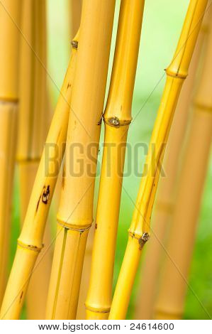 A close up of some live bamboo stalks. Shallow depth of field with focus on the front stalk. poster