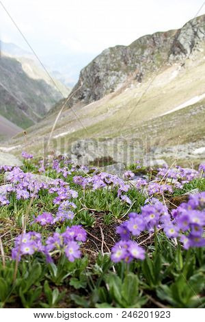 Purple Flowers In The Foreground On The Background Of Mountains And Rocks, Kabardino-balkaria