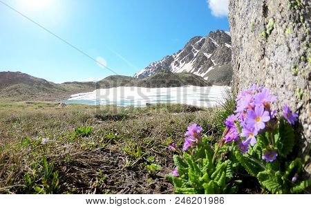 Purple Flower Grows Near A Large Stone In The Foreground On The Background Of An Ice Lake And Mounta
