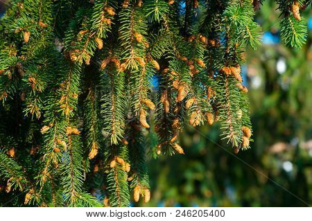Close-up Fir Branches With Many Cones, Winter. Christmas, Happy New Year. Natural Background, Trendy