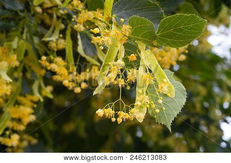 Blossoming Linden Tree. Linden Tree In Blossom. Nature Background.