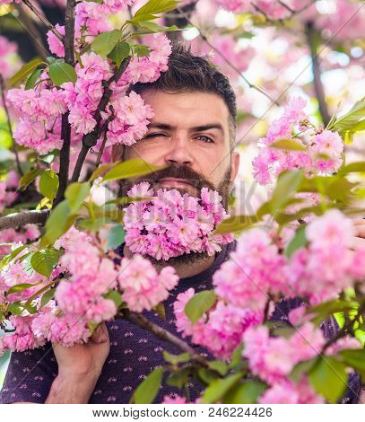 Man with beard and mustache on strict face near tender pink flowers. Masculinity concept. Hipster with sakura blossom in beard. Bearded man with fresh haircut with bloom of sakura on background. poster