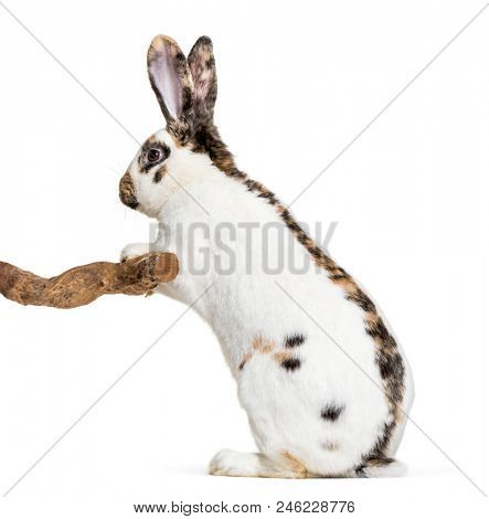 Checkered Giant rabbit standing against white background