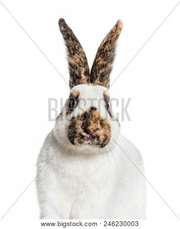 Checkered Giant rabbit against white background
