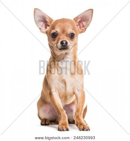 Chihuahua dog, 6 months old, sitting against white background