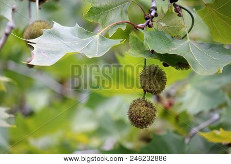 Soft focus background with Maple Tree Seeds in foreground, rainforest macro, soft focus rainforest background